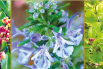 huiles essentielles et fleurs