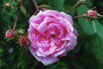 roses de mai centifolia